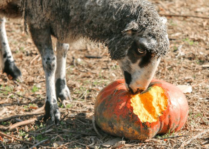 sheep eating an old pumpkin